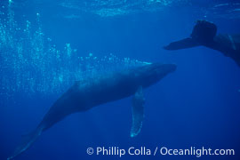 North Pacific humpback whale, male bubble trailing in competitive group, Megaptera novaeangliae, Maui
