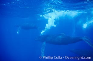 Humpback whales, male bubble streaming, Megaptera novaeangliae, Maui
