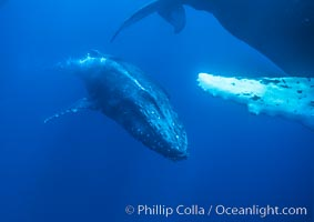 Male humpback whale bubble streaming amid competitive group, Islands Humpback Whale NMS, Megaptera novaeangliae, Maui