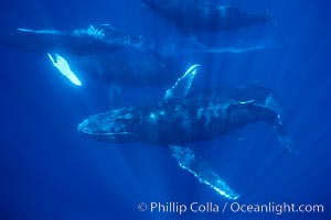 North Pacific humpback whale, competitive group with bubble streaming, Megaptera novaeangliae, Maui