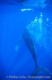 Humpback whale, bubble streaming during competitive group socializing, Megaptera novaeangliae, Maui