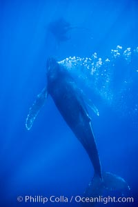 Male humpback whale bubble streaming underwater.  The male escort humpback whale seen here is emitting a curtain of bubbles as it swims behind a mother and calf (barely seen in the distance), Megaptera novaeangliae, Maui