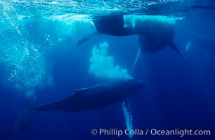 North Pacific humpback whale, primary escort bubble trails alongside female amid competitive group, Megaptera novaeangliae, Maui