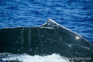 Humpback whale dorsal fin, Megaptera novaeangliae, Maui