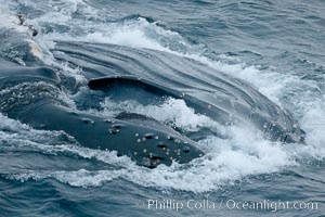 Humpback whale lunge feeding on Antarctic krill, with mouth open and baleen visible.  The humbpack's throat grooves are seen as its pleated throat becomes fully distended as the whale fills its mouth with krill and water.  The water will be pushed out, while the baleen strains and retains the small krill, Megaptera novaeangliae, Gerlache Strait
