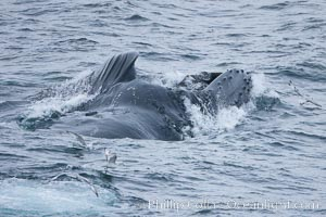 Humpback whales lunge feed on Antarctic krill, engulfing huge mouthfuls of the tiny crustacean, Megaptera novaeangliae, Gerlache Strait