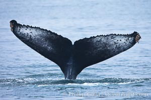 Perfect view of the ventral surface of a humpback whales fluke, as the whale raises its fluke just before diving underwater.  The white patches and scalloping along the trailing edge of the fluke make this whale identifiable when it is observed from year to year, Megaptera novaeangliae, Santa Rosa Island, California