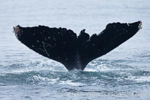 Scarring of this humpback whale's fluke allow researchers to identify this particular whale from season to season, Megaptera novaeangliae, Santa Rosa Island, California