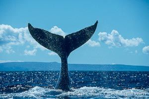 Humpback whale holding fluke (tail) aloft out of the water, Megaptera novaeangliae, Maui