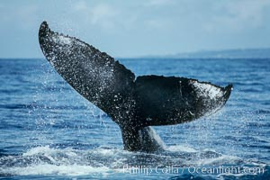 Humpback whale fluking up prior to a dive, Megaptera novaeangliae, Maui