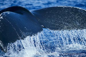 Humpback whale raising its fluke (tail) prior to a dive, Megaptera novaeangliae, Maui
