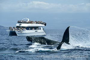 Humpback whale surface active group including head lunge and two fluke swipes, whale watching boat, Megaptera novaeangliae, Maui