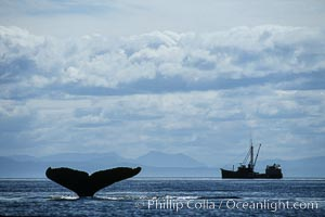Humpback whale raising fluke prior to dive, Megaptera novaeangliae, Frederick Sound