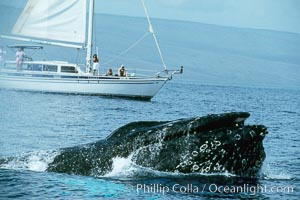 North Pacific humpback whale at the surface with open mouth and inflated throat, in front of whale watching boat, Megaptera novaeangliae, Maui
