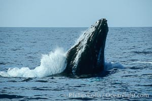 Humpback whale, head lunge in active group, Megaptera novaeangliae, Maui