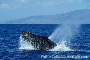 Humpback whale head lunging, rostrum extended out of the water, exhaling at the surface, exhibiting surface active social behaviours, Megaptera novaeangliae, Maui