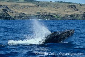 Humpback whale head lunging, showing bleeding tubercles caused by collisions with other whales, rostrum extended out of the water, exhaling at the surface, exhibiting surface active social behaviours, Megaptera novaeangliae, Molokai