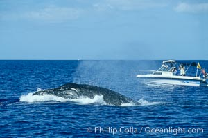Humpback whale, male head lunging, whale research boat (Center for Whale Studies) in background flying yellow NOAA/NMFS permit flag, Megaptera novaeangliae, Maui