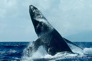Humpback whale lunging clear of the water and falling forward with pectoral fins extended, a behavior known as a head slap, Megaptera novaeangliae, Maui