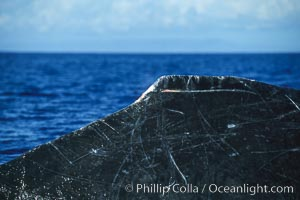 Humpback whale dorsal fin detail, showing small wounds from recent competitive interactions with other whales, Megaptera novaeangliae, Maui