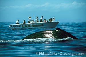 North Pacific humpback whale rounds out near observers, Megaptera novaeangliae, Maui