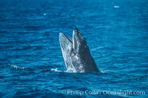 Humpback whale calf with open mouth out of the water, Megaptera novaeangliae, Maui