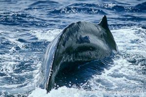 Humpback whale dorsal fin and dorsal ridge, Megaptera novaeangliae, Maui