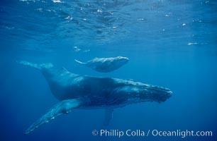 North Pacific humpback whales, a mother and calf pair swim closely together just under the surface of the ocean.  The calf with remain with its mother for about a year, migrating from Hawaii to Alaska to feed on herring, Megaptera novaeangliae, Maui