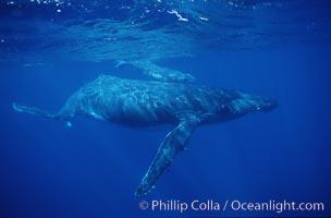 North Pacific humpback whale, Megaptera novaeangliae, Maui