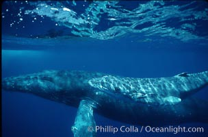 North Pacific humpback whale, cow/calf, Megaptera novaeangliae, Maui