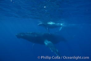 North Pacific humpback whale, cow/calf, Megaptera novaeangliae, Maui