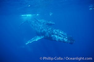North Pacific humpback whale, cow/calf, research divers, Megaptera novaeangliae, Maui