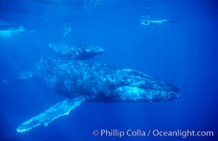 North Pacific humpback whales, a mother and young calf swim near scientific research divers, Megaptera novaeangliae, Maui