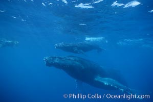 North Pacific humpback whale, mother and calf, research diver, Megaptera novaeangliae, Maui