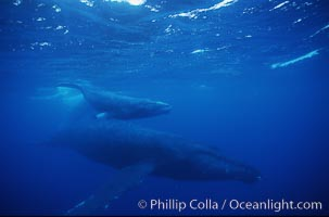 North Pacific humpback whale, mother and calf/escort, research divers, Megaptera novaeangliae, Maui