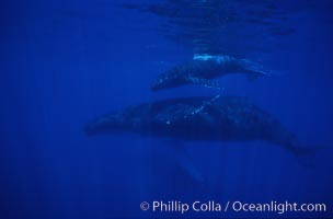 North Pacific humpback whale, mother and calf, Megaptera novaeangliae, Maui