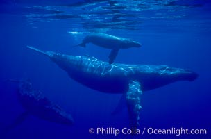Humpback whale mother, calf (top), male escort (rear), Megaptera novaeangliae, Maui