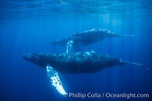 Humpback whale mother, calf and escort, Megaptera novaeangliae, Maui