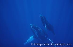 North Pacific humpback whale, mother and calf, Megaptera novaeangliae, Maui
