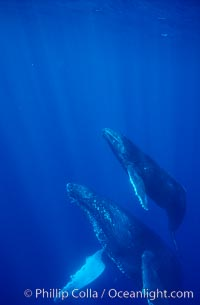 North Pacific humpback whale, mother and calf, Maui
