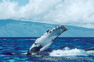 Humpback whale with one of its long pectoral fins raised aloft out of the water, swimming on its side (laterally) as it does so, Megaptera novaeangliae, Maui