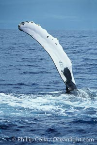 Humpback whale swimming with raised pectoral fin (ventral aspect), Megaptera novaeangliae, Maui