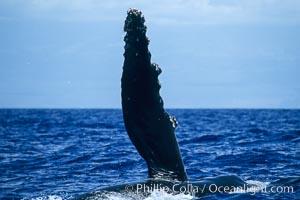 Humpback whale swimming with raised pectoral fin (dorsal aspect), Megaptera novaeangliae, Maui