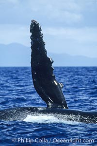 Humpback whale swimming with raised pectoral fin (dorsal aspect). Maui, Hawaii, USA, Megaptera novaeangliae, natural history stock photograph, photo id 04142