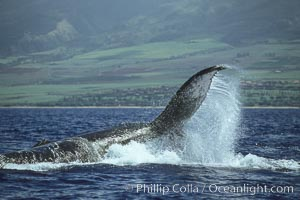 Humpback whale performing a peduncle throw at the surface, swinging its fluke (tail) sideways and flinging water all over, Megaptera novaeangliae, Maui