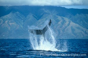 Humpback whale performing a peduncle throw at the surface, swinging its fluke (tail) sideways and flinging water all over, Megaptera novaeangliae, Maui, San Diego, Hawaii