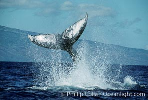 North Pacific humpback whale, peduncle throw. Maui, Hawaii, USA, Megaptera novaeangliae, natural history stock photograph, photo id 00443
