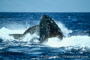 Humpback whale, challenger (rostrum) blocked by escort (peduncle), Megaptera novaeangliae, Maui