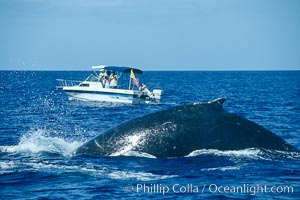 Humpback whale rounding out prior to a dive, whale research boat  (Center for Whale Studies) in background flying yellow NOAA/NMFS permit flag, Megaptera novaeangliae, Maui