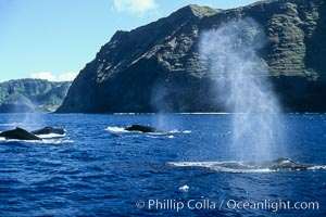 Humpback whale competitive group, surfacing and blowing, Megaptera novaeangliae, Molokai
